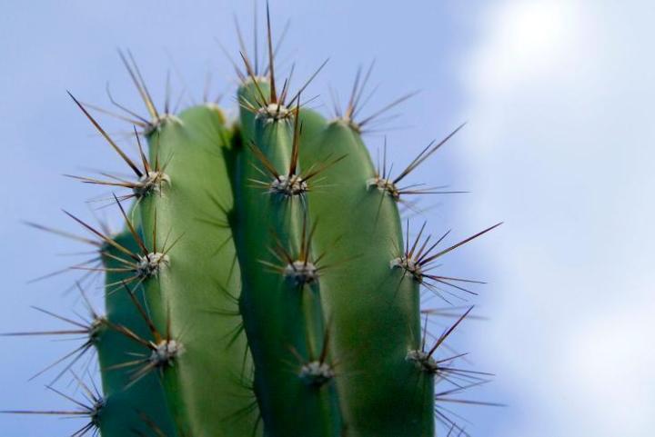 duri pada kaktus sebenarnya  berfungsi sebagai daun