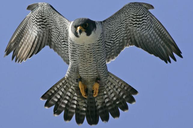 Peregrine Falcon, Hewan Tercepat Di Dunia