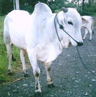 cara penyembelihan hewan harus sesuai ketentuan islam
