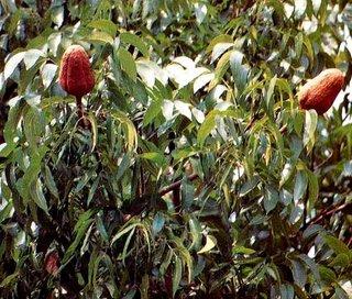 banyak manfaat buah mahoni untuk kesehatan