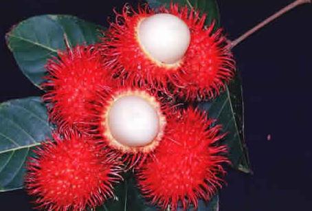 buah rambutan memiliki banyak manfaat untuk tubuh