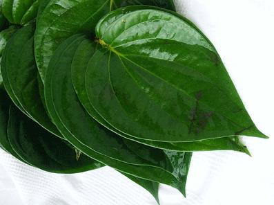 daun sirih dapat berkhasiat untuk mengobati keputihan
