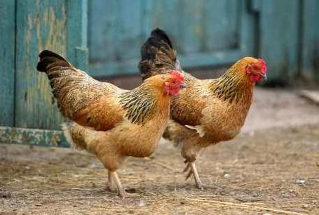 Ada Beberapa Penyakit Yang Sering Menyerang Ayam Kampung
